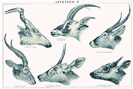 Comparison between 6 antelope heads Blue buck is in center of the upper 3