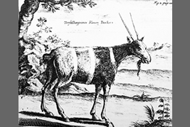 Blue buck drawn by P. Kolb 1719