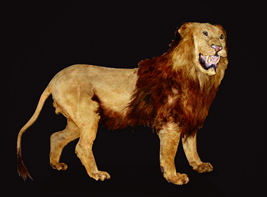 Stuffed specimens of Cape lion