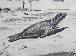 Drawn Caribbean monk seal in the 1800s