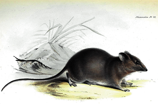 Galapagos rice rat drawn in 18th century