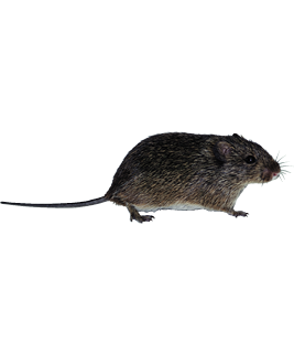 The hispid cotton rat which is relative to the Galapagos rice rat