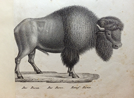 The American bison, drawn in the beginning of 19th century