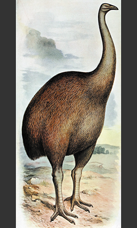 Giant moa which was painted in 19th century by Frohauk