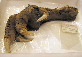 Preserved Highland moa's foot