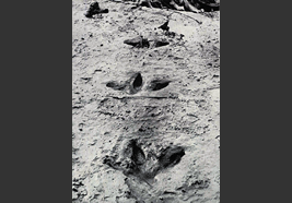 Preserved footprints of a Giant moa found in 1911
