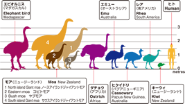 Size comparison 4 of moa species, human and also other flightless birds