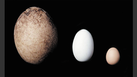 Comparison of the egg size (From left, Giant moa, Ostrich, chicken)