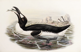 Three drawings of the Great auk in 19 century