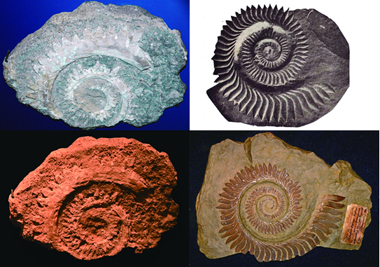 Fossils of different species of Helicoprion