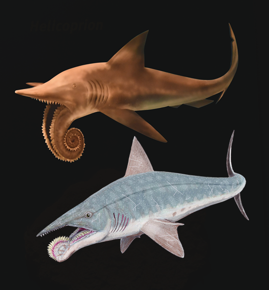 Images in former time of Helicoprion