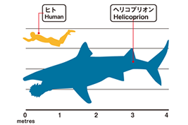 Size comparison of human and Helicoprion
