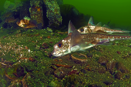 Spotted ratfish which is closely related to Helicoprion