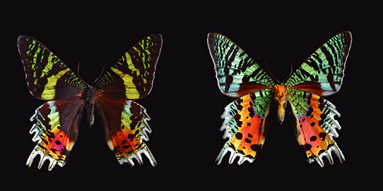 Madagascan sunset butterfly (two views of same specimen)