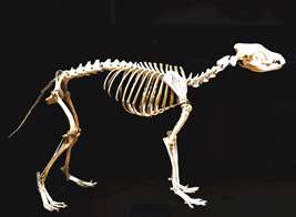 Skeleton of a Japanese wolf