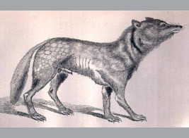 Japanese wolf drawn in the 1881