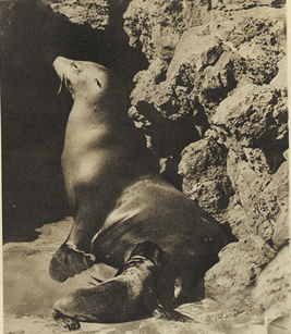 Japasese sea lion which were kept in Tennnoji zoo, Osaka
