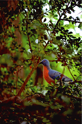 Passenger pigeon in LOST ZOO