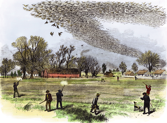 Passenger pigeons on natural history illustrations