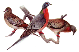 Passenger pigeons on natural history illustrations②