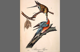 Passenger pigeons on natural history illustrations③