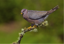 Band-tailed pigeon, which is closely related to Passenger pigeon