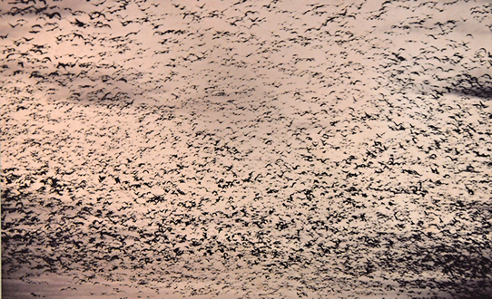 Blankets of Passenger pigeons covered the sky, around 500km by 4 billion
