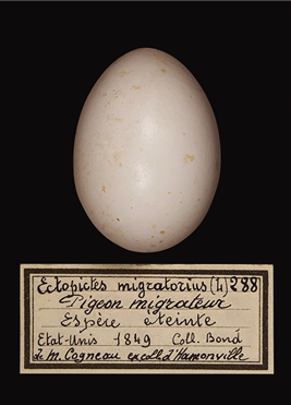 Preserved egg of Passenger pigeon