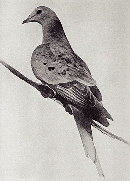 Martha, the last Passenger pigeon, alive in 1912