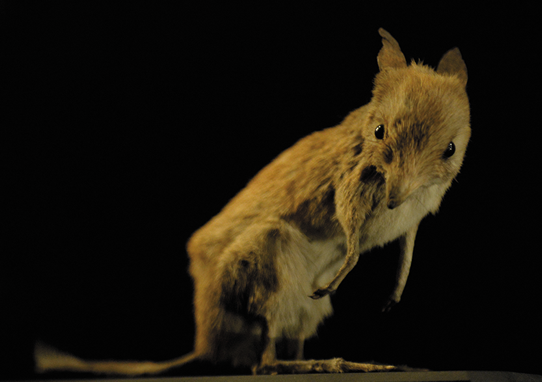 Stuffed Pig-footed bandicoot