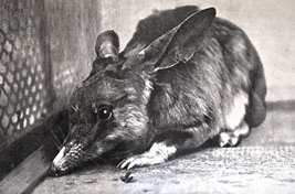 Rabbit-eared bandicoot which is close related to the Pig-footedbandicoot
