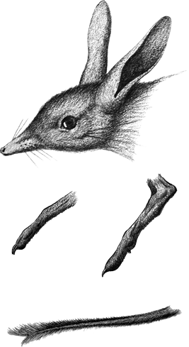 Drawing of the Pig-footed bandicoot by ''Guide to Native mammals of Australia