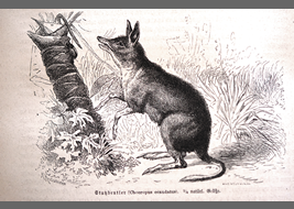 Two of drawings of the Pig-footed bandicoot in 19century