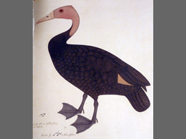 Pink-headed duck drawn in the 17th century