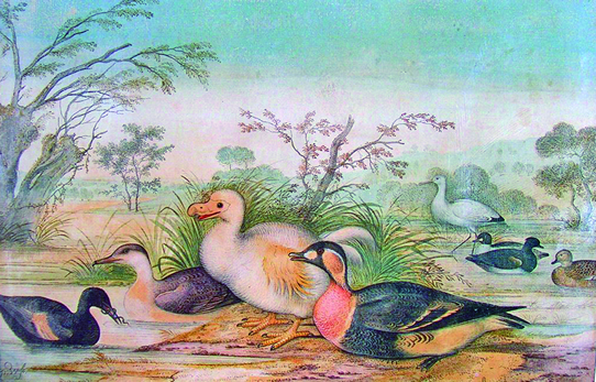 Old paintings of Réunion ibis①