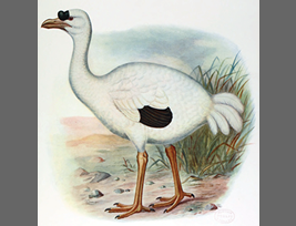 Old paintings of Réunion ibis②