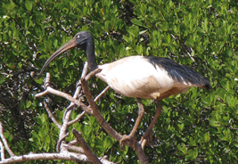 Straw necked ibis which is closely related