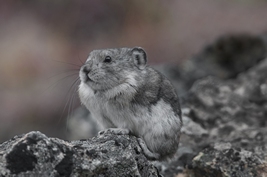 Colored pika are close related to Sardinian pika