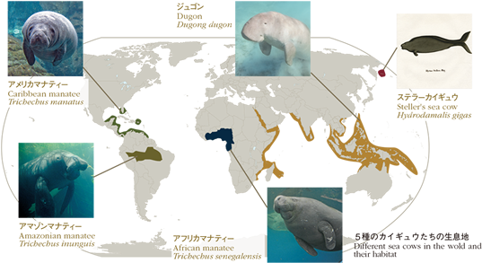 Different sea cows in the wold and their habitat