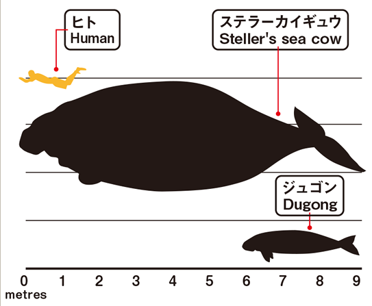Size comparison of dugong, human and Steller's sea cow