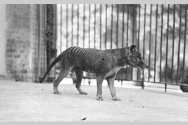 The Photo of Tasmanian tiger that had been kept in Berlin Zoo